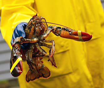A Maine Lobster ready for transportation.